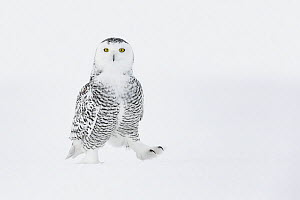 Snowy owl (Bubo scandiacus) walking on ground in snow, one foot raised, Ontario, Canada, January.  -  Guy Edwardes