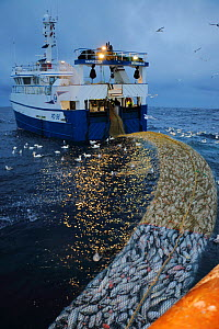 Fishing vessel Harvester hauling pairtrawl rock hopper net filled with Saithe (Pollachius virens) with Gannets (Morus bassanus) scavenging, North Sea. March 2016. Property released.  -  Philip  Stephen