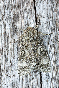 RF - Poplar grey moth (Subacronicta megacephala)  camouflaged on wood, Catbrook Monmouthshire, June. Focus-stacked image. (This image may be licensed either as rights managed or royalty free.)  -  Chris Mattison