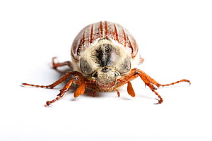 RF - Common cockchafer, or Maybug (Melolontha melolontha) on white background  .  Monmouthshire, Wales, UK, May. (This image may be licensed either as rights managed or royalty free.)  -  Chris Mattison