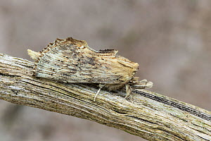 RF - Pale prominent moth (Pterostoma palpina)  camouflaged on a plant stem, Catbrook, Monmouthshire, Wales, UK. May. Focus-stacked image. (This image may be licensed either as rights managed or royalt...  -  Chris Mattison