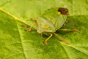 Green shield bug (Palomena prasina)  Catbrook, Monmouthshire, Wales, UK, May  -  Chris Mattison