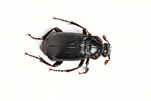 Black burying beetle (Nicrophorus humator) on white background  Catbrook, Monmouthshire, Wales, UK, May.  -  Chris Mattison