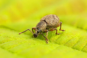 Clay-coloured weevil (Otiorhynchus singularis)  Catbrook, Monmouthshire, Wales, UK, May. Focus-stacked image - Chris Mattison