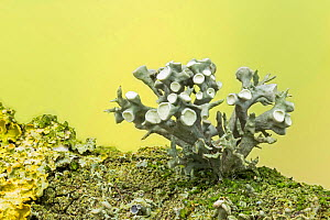 Fruticose lichen (Ramalina fastigiata)  among others, growing on a dead Sycamore twig, Catbrook, Monmouthshire. Focus-stacked image.  -  Chris Mattison