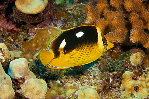 Fourspot butterflyfish (Chaetodon quadrimaculatus) Kauai, Hawaii. - David  Fleetham