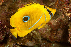 Bennett's butterflyfish (Chaetodon bennetti) feeding on coral polyps, Fiji. - David  Fleetham