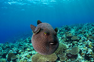 Guineafowl pufferfish (Arothron meleagris) Yap, Micronesia. - David  Fleetham