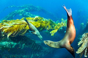 California sea lions (Zalophus californianus) playing in a kelp forest off Santa Barbara Island, California, USA.  -  David  Fleetham