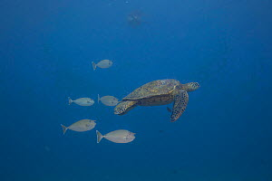 Green sea turtle (Chelonia mydas) followed closely by Spotted unicorn fish (Naso brevirostris) which feeds on turtle feces, Hawaii. - David  Fleetham