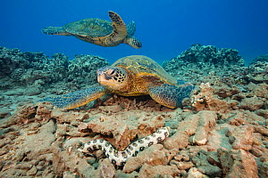 Snowflake moray eel (Echidna nebulosa) passing  in front of these two Green sea turtles (Chelonia mydas) an endangered species, off Maui, Hawaii. - David  Fleetham