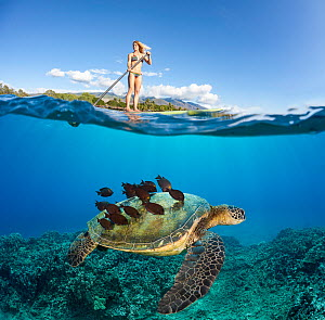 Green sea turtle (Chelonia mydas) with shell cleaned by a school of Goldring surgeonfish (Ctenochaetus strigosus) below paddleboarder, Maui, Hawaii.   Digital composite. - David  Fleetham