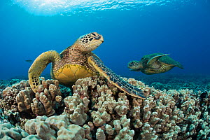 Green sea turtles (Chelonia mydas) on corals, Hawaii. - David  Fleetham