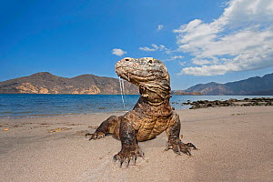 Komodo dragons (Varanus komodoensis) on shore with saliva dripping from mouth,  Rinca Island, Komodo National Park, Indonesia.  -  David Fleetham