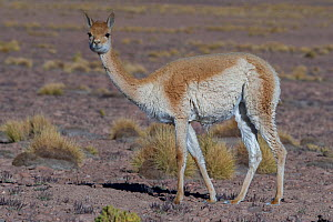 RF-Vicuna (Vicugna vicugna) Quetena, Altiplano, Bolivia (This image may be licensed either as rights managed or royalty free.) - Bernard Castelein