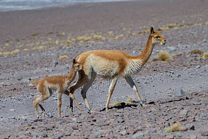 RF-Vicuna (Vicugna vicugna) mother with calf,  Laguna Hedionda,  Altiplano, Bolivia (This image may be licensed either as rights managed or royalty free.) - Bernard Castelein