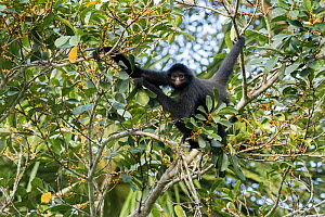 RF-Black Spider Monkey (Ateles chamek) climbing tree, Madidi National Park, Bolivia (This image may be licensed either as rights managed or royalty free.) - Bernard Castelein