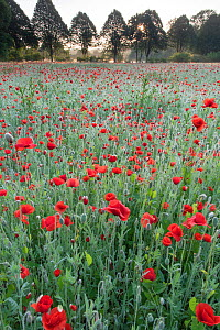 RF-Field of Poppies (Papaver rhoeas) De Inslag, Brasschaat, Belgium (This image may be licensed either as rights managed or royalty free.) - Bernard Castelein