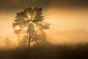RF- (Pinus sylvestris) at sunrise, Klein Schietveld, Brasschaat, Belgium (This image may be licensed either as rights managed or royalty free.) - Bernard Castelein