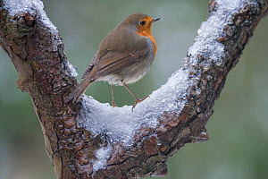 RF-Robin (Erithacus rubecula) on a snowy branch,  Brasschaat, Belgium. January. (This image may be licensed either as rights managed or royalty free.) - Bernard Castelein