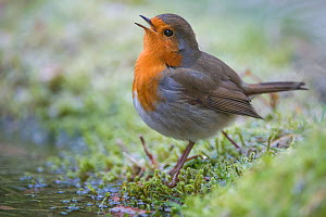 RF-Robin (Erithacus rubecula) singing, Brasschaat, Belgium, January. (This image may be licensed either as rights managed or royalty free.) - Bernard Castelein