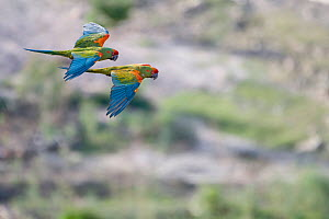 RF- Red-fronted Macaw (Ara rubrogenys) two in flight, Red-fronted Macaw Community Nature Reserve, Omerque, Bolivia (This image may be licensed either as rights managed or royalty free.) - Bernard Castelein