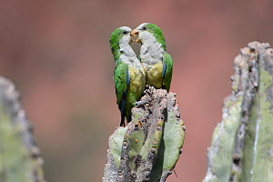 RF-Cliff Parakeet  (Myiopsitta luchsi) pair in affectionate behaviour, Red-fronted Macaw Community Nature Reserve, Omerque, Bolivia (This image may be licensed either as rights managed or royalty free... - Bernard Castelein