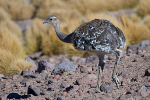 RF-Lesser Rhea (Pterocnemia pennata) Quetena, Altiplano, Bolivia (This image may be licensed either as rights managed or royalty free.)  -  Bernard Castelein