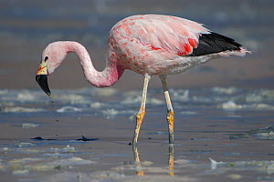 RF-Andean flamingo (Phoenicoparrus andinus) foraging on shore, Laguna Hedionda,  Altiplano, Bolivia (This image may be licensed either as rights managed or royalty free.) - Bernard Castelein