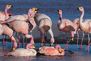 RF- James's flamingo (Phoenicoparrus jamesi) flock Laguna Colorada / Reserva Eduardo Avaroa, Altiplano, Bolivia (This image may be licensed either as rights managed or royalty free.) - Bernard Castelein
