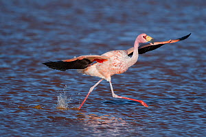 RF- James's flamingo (Phoenicoparrus jamesi) taking off from water,  Laguna Colorada / Reserva Eduardo Avaroa, Altiplano, Bolivia (This image may be licensed either as rights managed or royalty free.) - Bernard Castelein