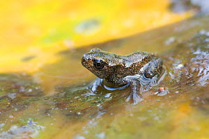 Common frog (Rana temporaria) froglet on the discoloured waterlily pad. Brasschaat, Belgium - Bernard Castelein