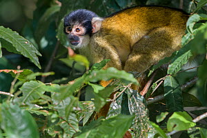 Black-capped squirrel monkey (Saimiri boliviensis peruviensis) in tree,  Madidi National Park, Bolivia  -  Bernard Castelein