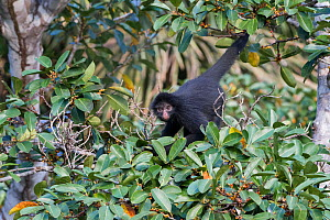 Black spider monkey (Ateles chamek) in tree, Madidi National Park, Bolivia  -  Bernard Castelein