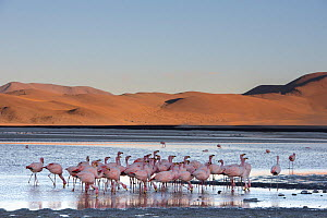 James's flamingo (Phoenicoparrus jamesi) flock on the shore of Laguna Colorada / Reserva Eduardo Avaroa, Altiplano, Bolivia  -  Bernard Castelein