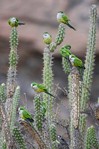 Cliff parakeets  (Myiopsitta luchsi) perched on cactus, Red-fronted Macaw Community Nature Reserve, Omerque, Bolivia - Bernard Castelein