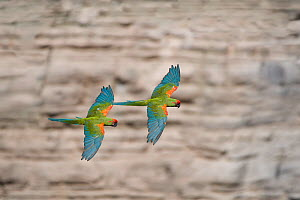 Red-fronted macaw (Ara rubrogenys) two in flight, Red-fronted Macaw Community Nature Reserve, Omerque, Bolivia - Bernard Castelein