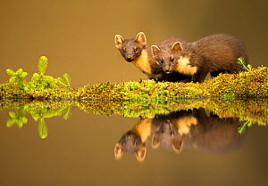 Pine marten (Martes martes) reflected in water, Ardnamurchan Peninsula, west coast of Scotland, UK. Highly commended in the Mammals category of the British Wildlife Photography Awards (BWPA) Competiti... - Danny Green