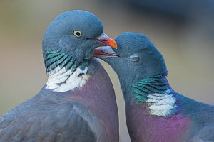 RF - Wood pigeon (Columba palumbus) pair preening one another, The Netherlands. (This image may be licensed either as rights managed or royalty free.) - Edwin Giesbers