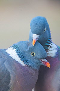 Wood pigeon (Columba palumbus) pair preening one another, The Netherlands.  -  Edwin Giesbers