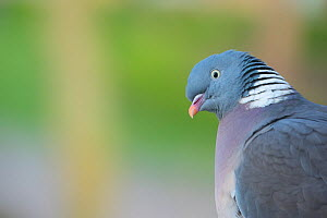 Wood pigeon (Columba palumbus) portrait,  The Netherlands.  -  Edwin Giesbers