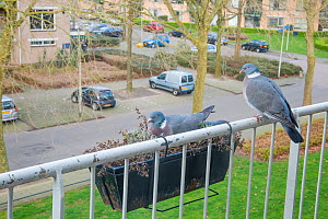 Wood pigeon (Columba palumbus) nesting in window box of balcony. The Netherlands.  -  Edwin Giesbers