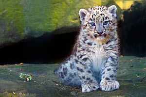 Snow leopard (Panthera uncia) cub age three months, captive. - Edwin Giesbers