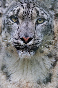 RF - Snow leopard (Panthera uncia) female, portrait, captive. (This image may be licensed either as rights managed or royalty free.)  -  Edwin Giesbers