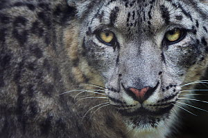 RF - Snow leopard (Panthera uncia) portrait, captive. (This image may be licensed either as rights managed or royalty free.)  -  Edwin Giesbers