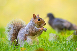 RF - Grey Squirrel (Sciurus carolinensis) feeding on nut with pigeon in the background, St James Park; London, UK. October. (This image may be licensed either as rights managed or royalty free.) - Edwin Giesbers