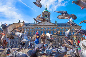 People feeding Feral pigeons (Columba livia) outside the Royal Palace, Dam Square, Amsterdam. The Netherlands. March 2017. - Edwin Giesbers