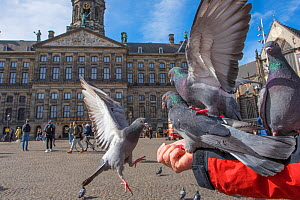 Person feeding Feral pigeons (Columba livia) outside the Royal Palace, Dam Square, Amsterdam. The Netherlands. March 2017. - Edwin Giesbers