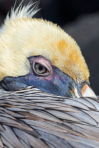 Brown pelican (Pelecanus occidentalis) close up whilst resting,  Punta Suarez, Espanola Island, Galapagos  -  Tui De Roy