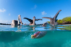 Split level view of Brown pelicans (Pelecanus occidentalis) feeding, Tortuga Bay, Santa Cruz Island, Galapagos - Tui De Roy